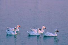 5 gansos en la puesta del sol Fotos de archivo libres de regalías