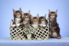 5 gatinhos do Coon de Maine no recipiente Imagem de Stock Royalty Free