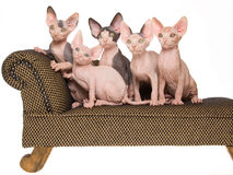 5 gattini Hairless di Sphynx sul mini strato marrone Fotografia Stock
