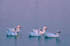 5 Geese At Sunset. 5 snow geese on a lake at sunset Royalty Free Stock Photos
