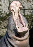 5 hipopotamów pigmej Obrazy Royalty Free