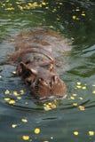 5 hipopotam Fotografia Royalty Free