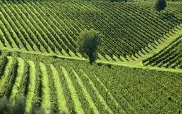 5 italienska vingårdar arkivbild