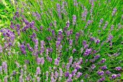 5 jasnych kwiatów lawendowych Fotografia Royalty Free