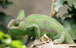 5 kameleon Obrazy Stock