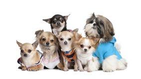 5 klädde chihuahuashundar grupperar upp shi Royaltyfri Bild