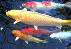 5 koi fish Royalty Free Stock Photo