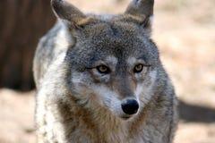 5 kojot Zdjęcia Royalty Free