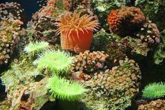 5 korali actinias Obrazy Royalty Free