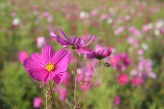 5 kwiaty kosmosów France Zdjęcia Stock