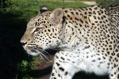 5 leopard λευκό Στοκ φωτογραφία με δικαίωμα ελεύθερης χρήσης