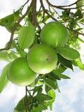 5 limefrukter Arkivbilder