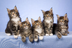 5 Maine Coon kittens on blue background. 5 Pretty Maine Coon kittens sitting in a row, on blue background Royalty Free Stock Photography