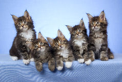 5 Maine Coon kittens on blue background. 5 Cute and pretty Maine Coon kittens sitting in a row on light blue fabric background Royalty Free Stock Photos