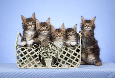 5 Maine Coon kittens in container Royalty Free Stock Image