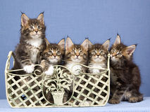 5 Maine Coon kittens in a row. 5 Pretty Maine Coon kittens sitting in a row, on blue background Royalty Free Stock Photo