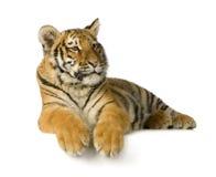5 miesięcy lisiątek tygrysich Obraz Royalty Free