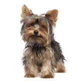 5 mois de chien terrier Yorkshire de chiot Photo libre de droits