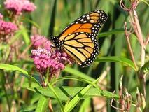 5 monarchów Zdjęcia Stock