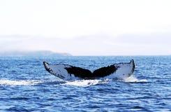 5 ogona humpback wieloryb fotografia stock