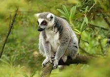 5 ogoniaści lemurów ringowych Obraz Royalty Free