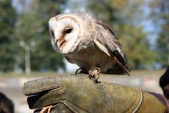 5 owlet Fotografia Stock
