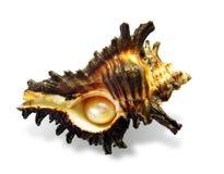 5 pearl shell Στοκ Φωτογραφία