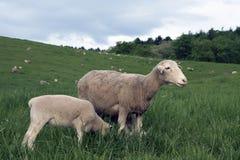 5 pecore del pascolo Fotografia Stock