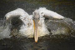 5 pelikan Стоковое фото RF