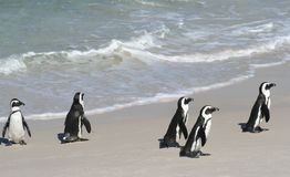 5 Penguins. Five Cape Penguins at the sea shore royalty free stock photography