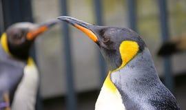 5 pingwin króla Obraz Royalty Free