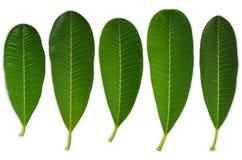 5 Plumeriablätter Lizenzfreies Stockbild