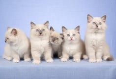 5 Ragdoll Kätzchen auf blauem Hintergrund Stockfotografie
