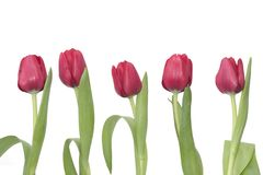 5 Red Tulips. Row with 5 beautiful red tulips stock image