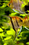 5 ψάρια scalare Στοκ Εικόνες