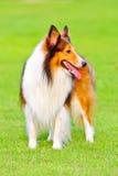5 sheepdog shetland Royaltyfria Foton