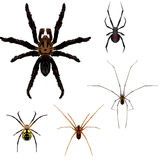 5 Spider illustrations. Illustrations of a tarantula, black widow, brown recluse, daddy lonlegs and garden spider Stock Photos