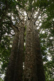 5 systerKauriTrees Royaltyfria Bilder