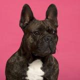 5 täta franska gammala övre år för bulldogg Fotografering för Bildbyråer