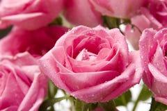 5 täta rosa rose övre fotografering för bildbyråer