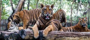 5 tijgers Royalty-vrije Stock Foto's
