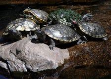 5 tortugas Imágenes de archivo libres de regalías