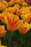 5 tulipanów Obrazy Royalty Free