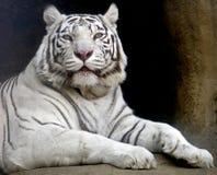 5 tygrysi biel Obrazy Royalty Free
