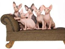 5 unbehaarte Sphynx Kätzchen auf mini brauner Couch Stockfotografie