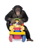 5 vieux ans de troglodytes de simia de chimpanzé de jeune Photographie stock libre de droits