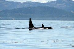 5 wild orcas Arkivbilder