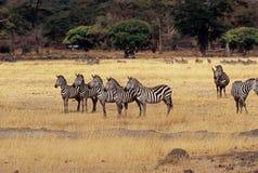 5 zebra bij Krater Ngorongoro Royalty-vrije Stock Afbeelding