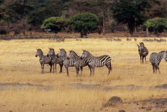 5 Zebra at Ngorongoro Crater. 5 Common (Grant's) Zebra facing left on crater floor at Ngorongoro Crater, Tanzania Royalty Free Stock Image