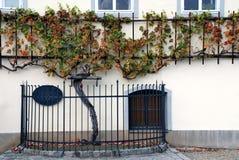 500 Jahre des alten Weinstocks Maribor - Slowenien lizenzfreies stockbild